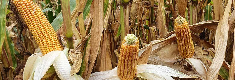 Wrześniowa lustracja kukurydzy