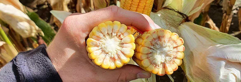 Wrześniowa lustracja kukurydzy w Miłosławiu