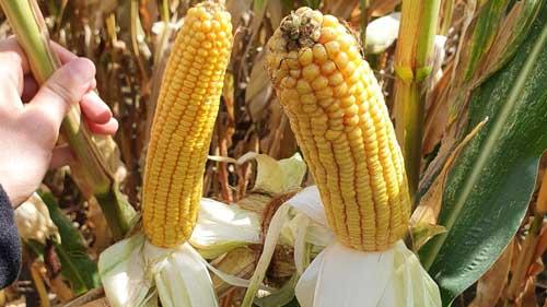 abelardo kukurydza