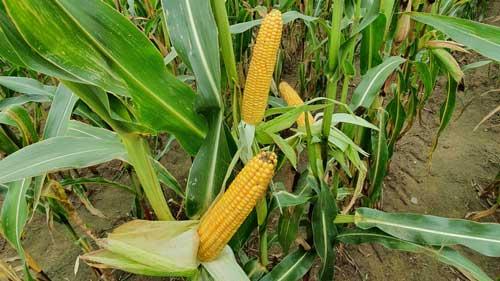 morock kukurydza