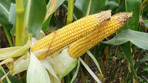 sy welas kukurydza