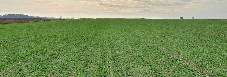 Druga lustracja plantacji zbóż