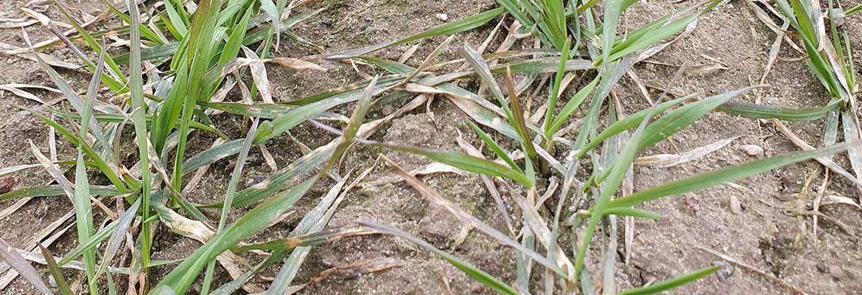Lustracja zbóż w Nieżychowicach