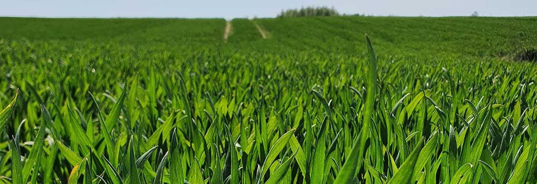 Czwarta lustracja zbóż w Zieleniewie