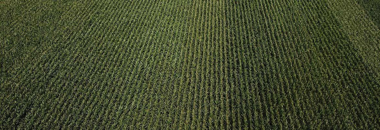 Kukurydza w Kobylinie - przegląd zabiegów