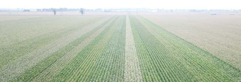 Kukurydza w Strzelnie - przegląd zabiegów