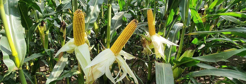 Lustracja kukurydzy w Strzelnie
