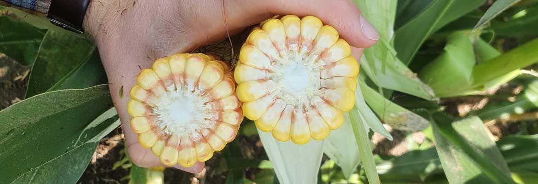 Lustracja kukurydzy w Dobrem