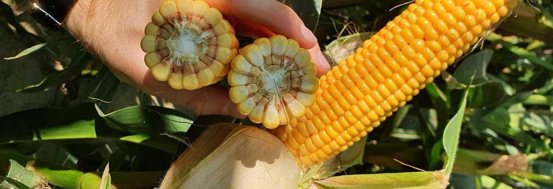 Lustracja kukurydzy w Zamęcinie