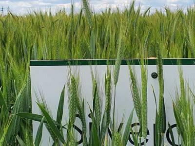 Zabieg T2 w zbożach i czerwcowa lustracja zbóż