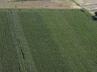 Lustracja kukurydzy w Nowym Lesie