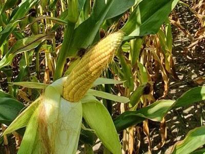 Lustracja kukurydzy w Milewie-Szwejkach