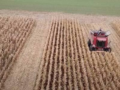 Zbiór kukurydzy w Zamęcinie