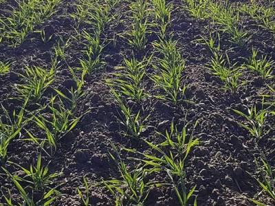Druga lustracja zbóż w Zieleniewie