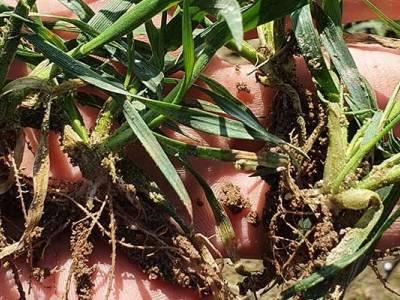 Pierwsze zabiegi po zimie i trzecia lustracja zbóż w Zieleniewie