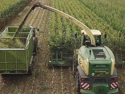 Zbiór kukurydzy w Dobrem